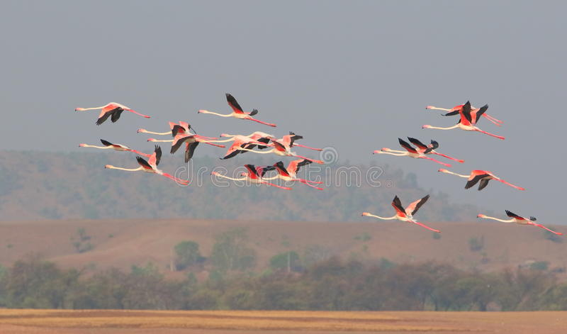 Greater flamingos. Bird flying in the middle of the sky and hills in the flock. very natural view stock photography