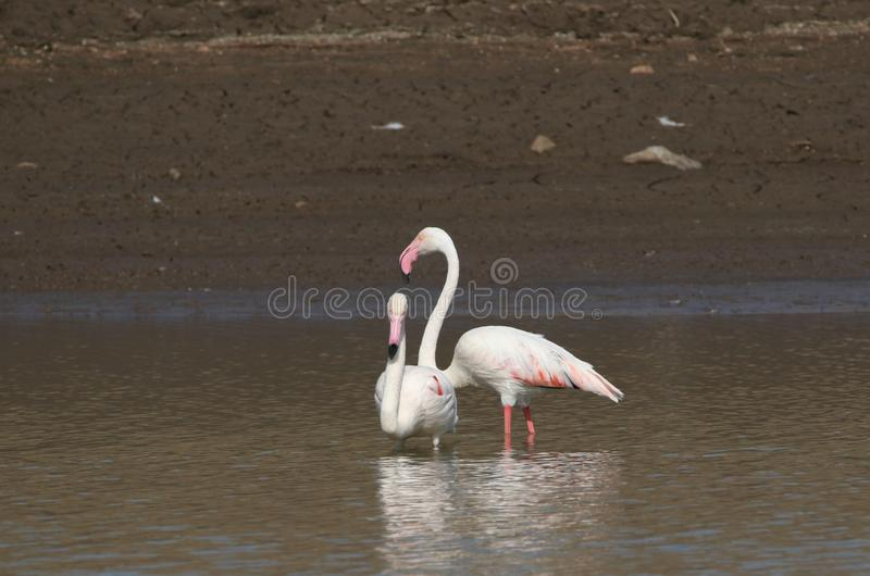 Greater flamingos. Couple relax in water of river. one stood and the other was seated. beautiful and natural view stock photo