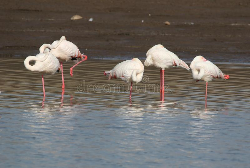 Greater flamingos. Family are relaxing in water. neck placed on body. colour are looking so beautiful. body colour are white and leg are pink royalty free stock photography