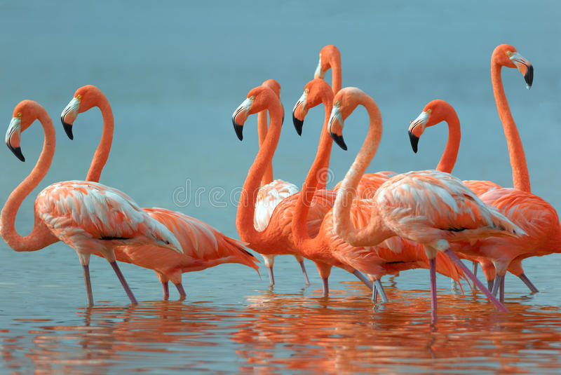Greater Flamingos stock images
