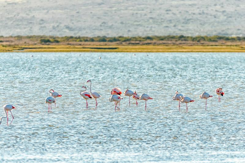 Greater flamingos at Geelbek Bird Hide on the Langebaan Lagoon on the Atlantic Ocean coast of the Western Cape Province stock photos