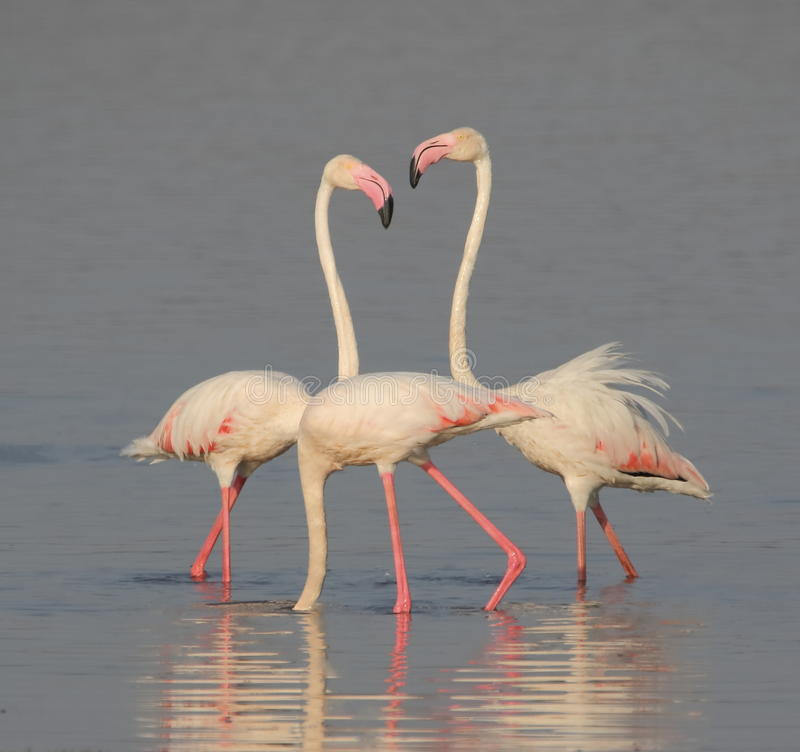 Greater flamingos. Pair is standing in the water of river. a bird stood in water, dipped mouth. very beautiful and natural view royalty free stock image