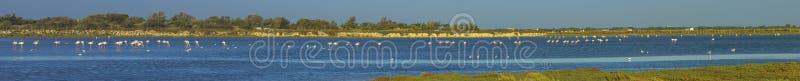 Greater flamingos, phoenicopterus roseus, in stock images