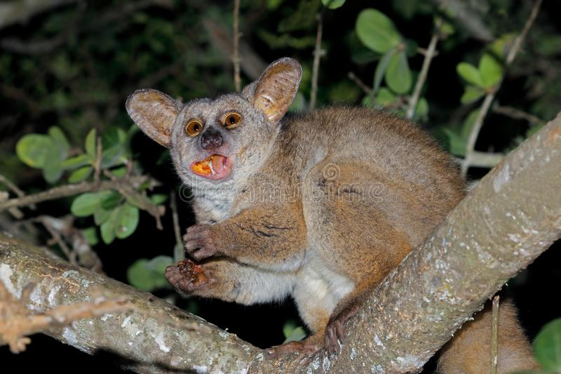 Greater galago eating tree gum. Nocturnal greater galago or bushbaby Otolemur crassicaudatus eating tree gum, South Africa royalty free stock photo