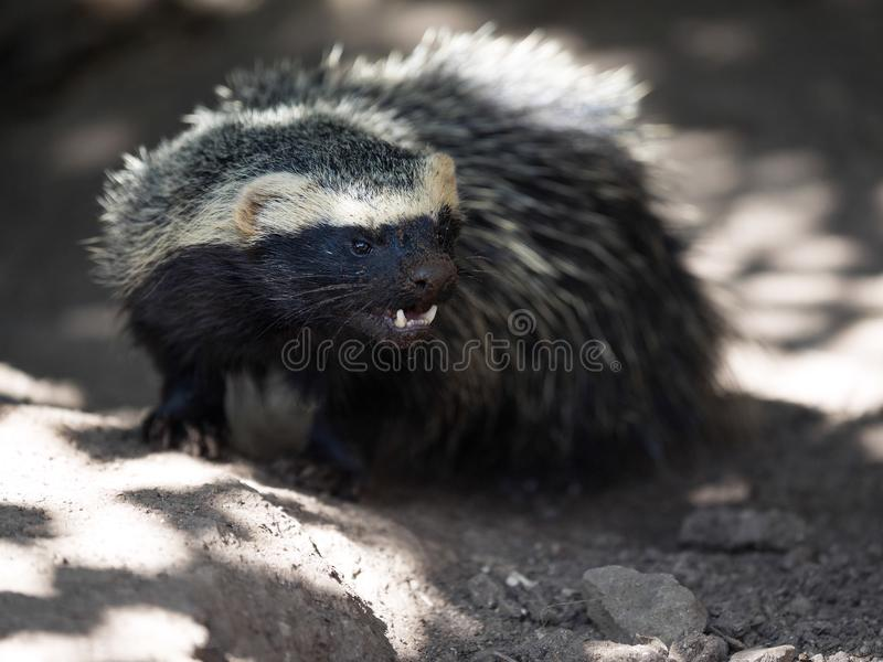 Greater Grison, Galictis vittata, is very moving carnivores. One Greater Grison, Galictis vittata, is very moving carnivores royalty free stock photos