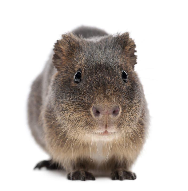 Free Greater Guinea Pig, Cavia Magna Stock Images - 26645264