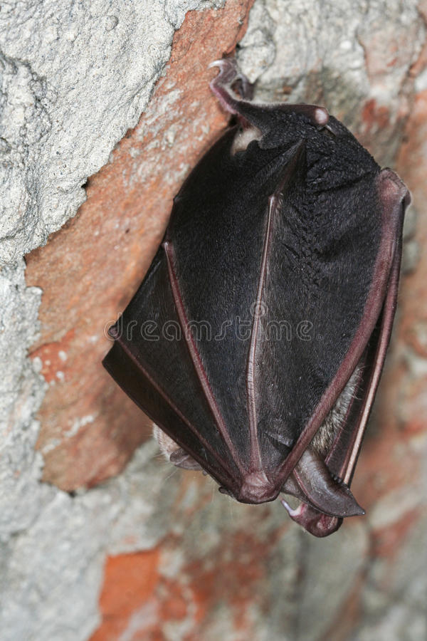 Greater horseshoe bat resting stock image