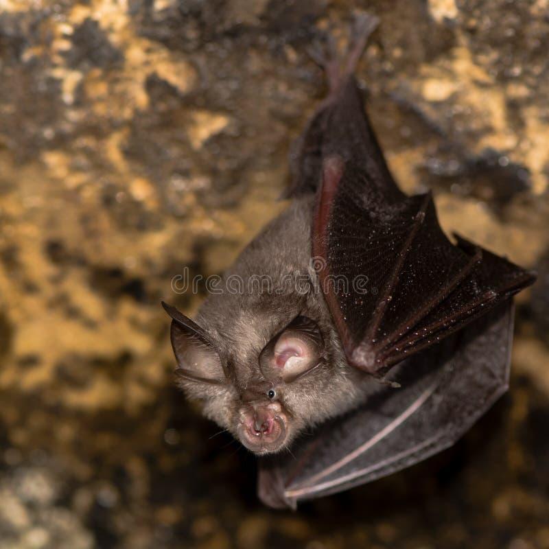 Greater horseshoe bat (Rhinolophus ferrumequinum) stock photos