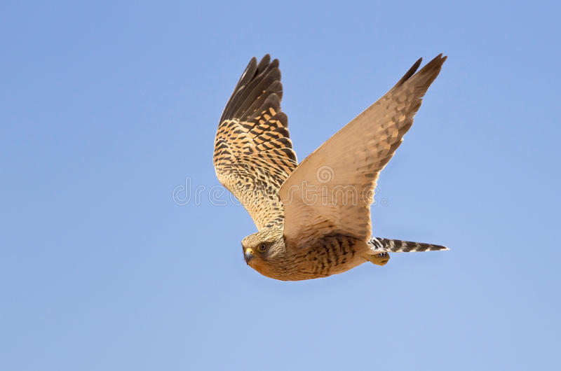 Greater Kestrel. A Greater Kestrel (Falco rupicoloides) in flight agianst a clear blue sky stock photography