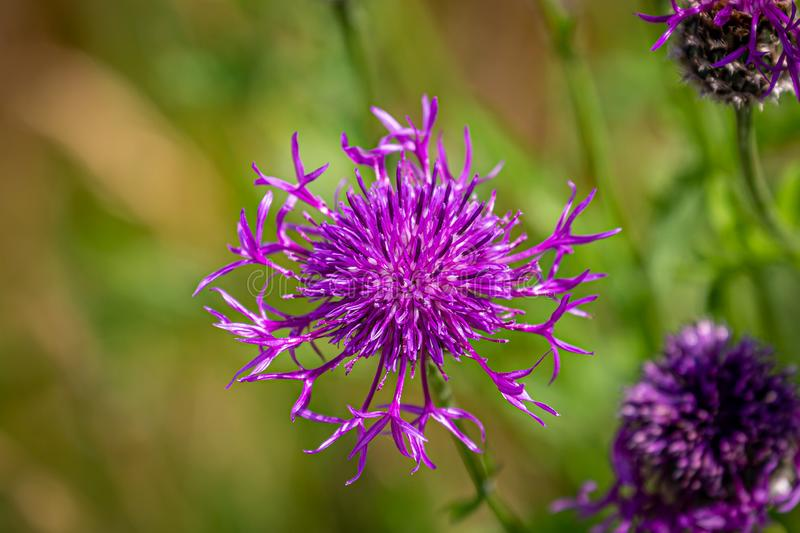 Greater Knapweed. A purple Greater Knapweed flower growing in the Sussex countryside, on a sunny summers day stock images