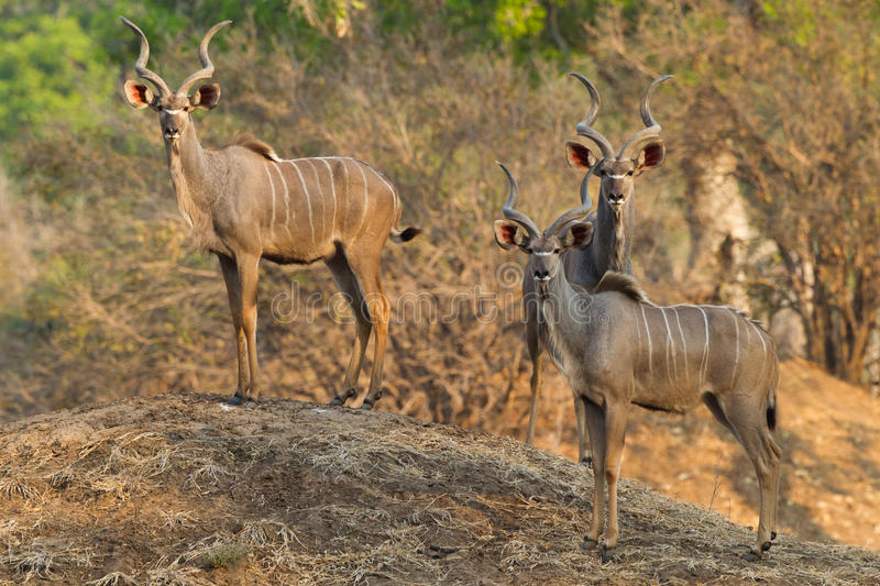 Greater Kudu bulls standing on termite mound stock photo
