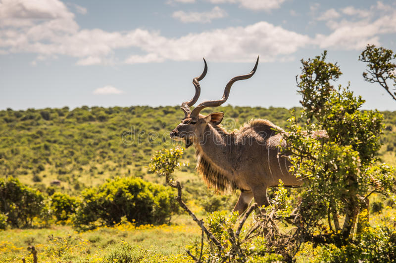 Greater kudu close-up, South Africa stock photography
