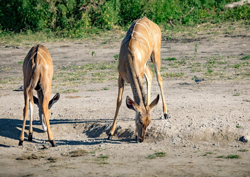 Greater Kudu females at the river Chobe in Botswana. During summer stock photos