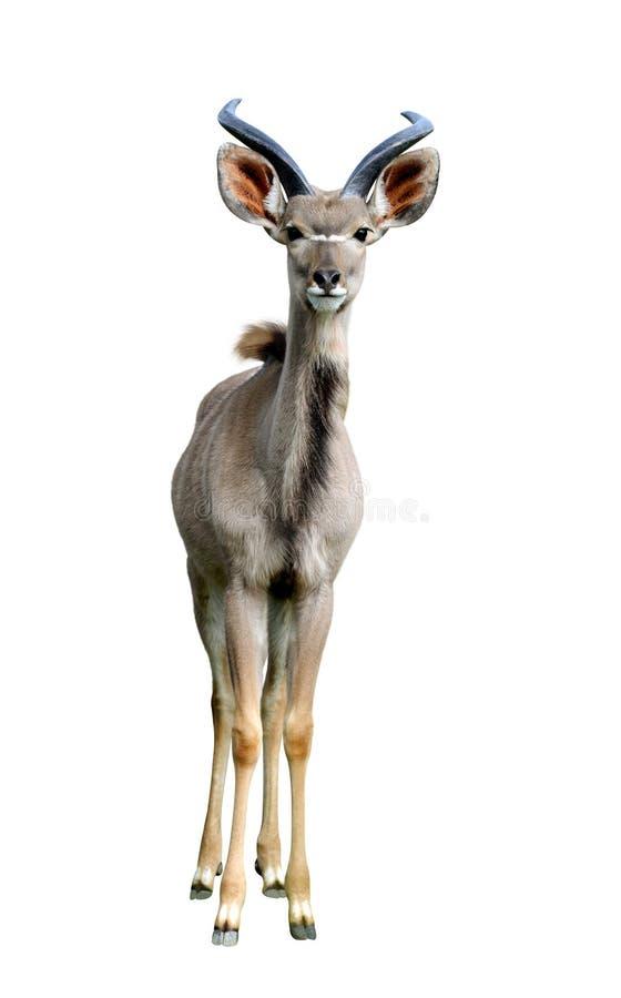 Greater kudu. stock image