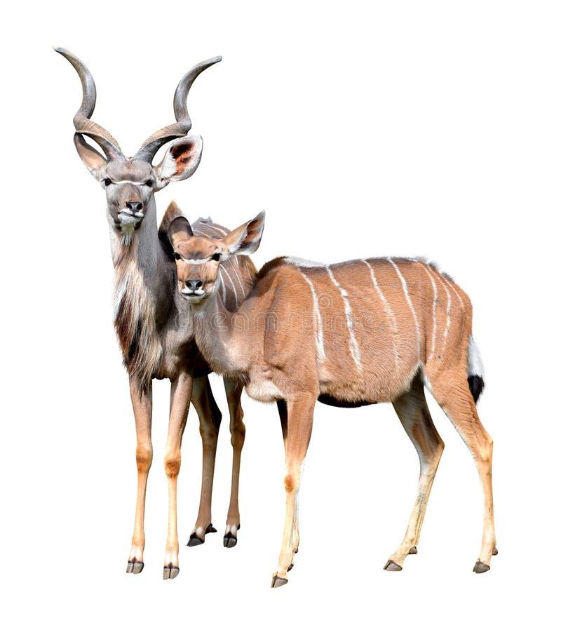 Greater kudu stock image