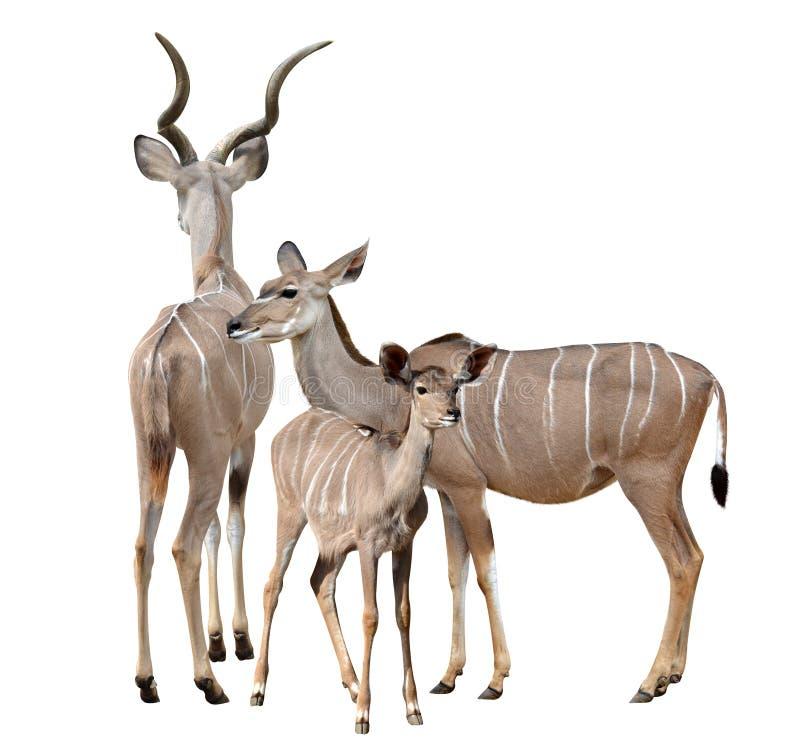 Greater kudu royalty free stock photography