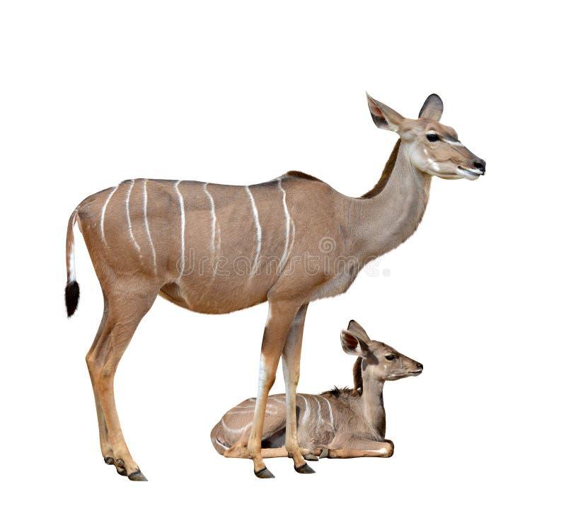 Greater kudu stock images