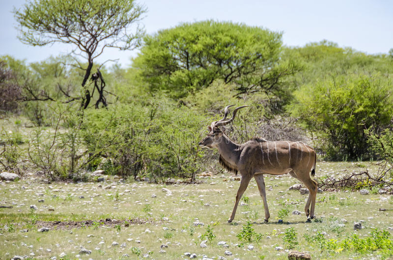 Greater kudu royalty free stock photo