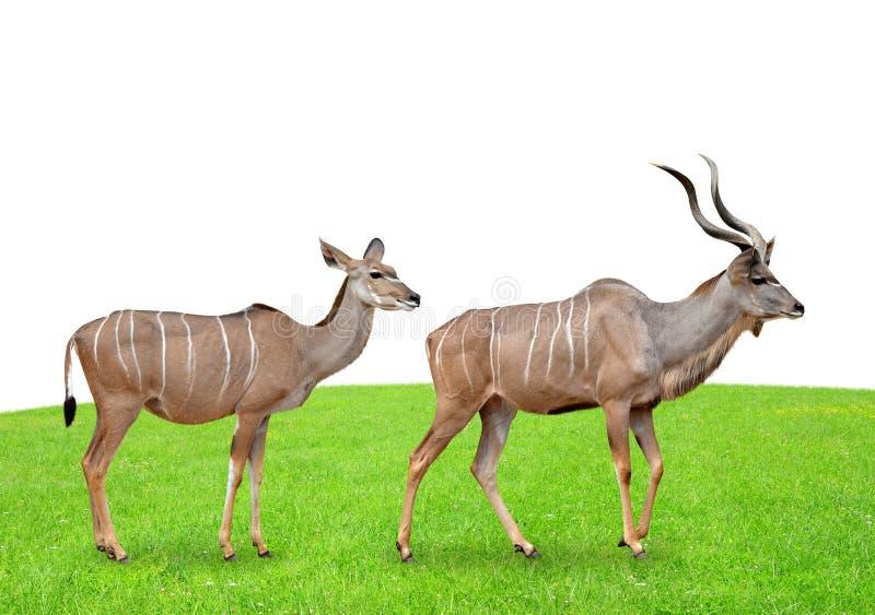 Greater kudu royalty free stock images