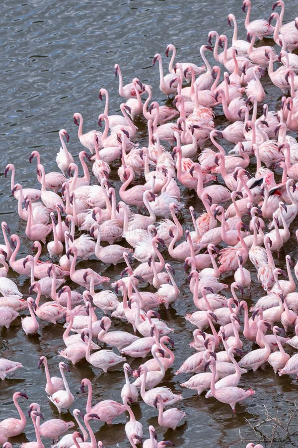Greater and Lesser Flamingos, Lake Bogoria, Kenya, Africa stock photography