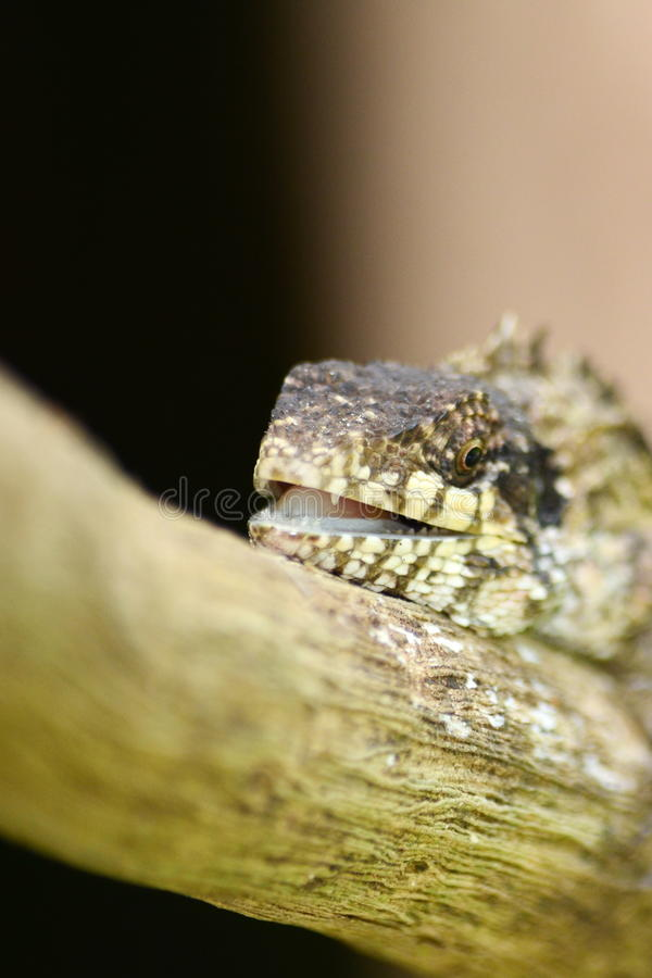 Greater lizard. Sitting on the tree royalty free stock image