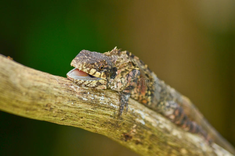 Greater lizard. Sitting on the tree royalty free stock photo