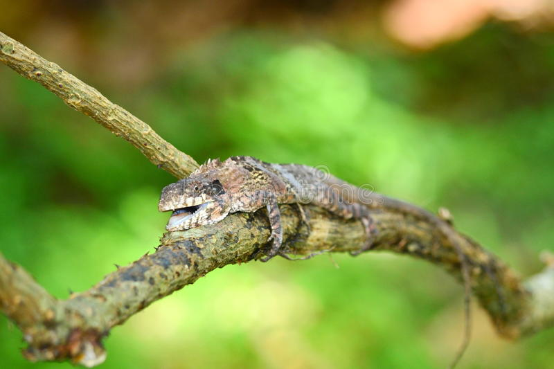 Greater lizard. Sitting on the tree and green background in forest stock image