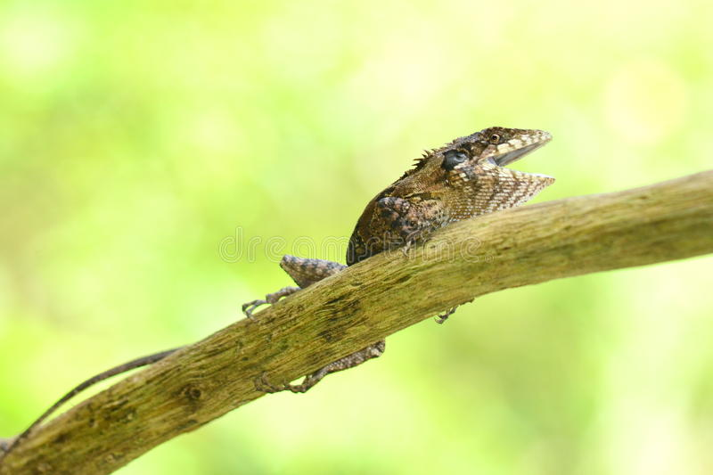 Greater lizard. Sitting on the tree and green background in forest stock images