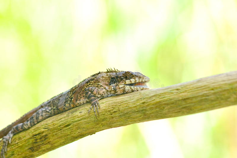 Greater lizard. Sitting on the tree and green background in forest royalty free stock image