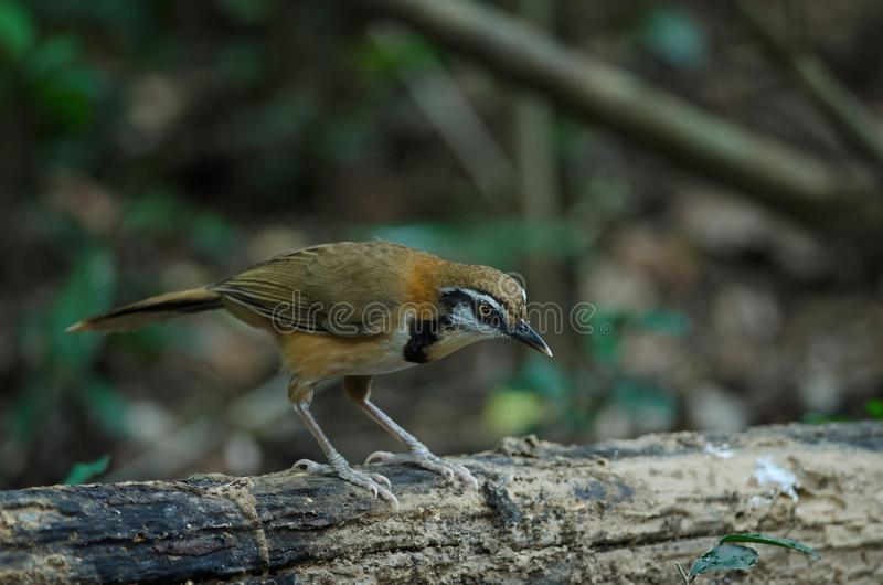 Greater Necklaced Laughingthrush Garrulax pectoralis. In nature royalty free stock images