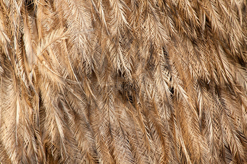 Greater Rhea americana feather pattern stock images
