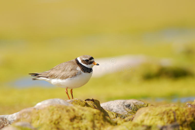 Greater Ringed Plover. And yellow background royalty free stock photo