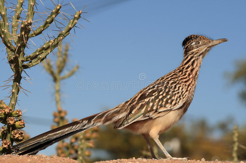 Greater Road Runner royalty free stock photos