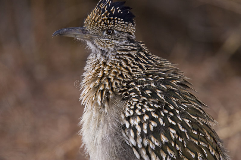 Greater Roadrunner royalty free stock photography