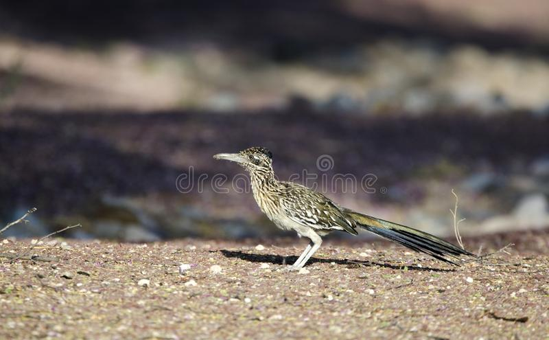 Greater Roadrunner bird, southwest desert, Tucson Arizona royalty free stock image