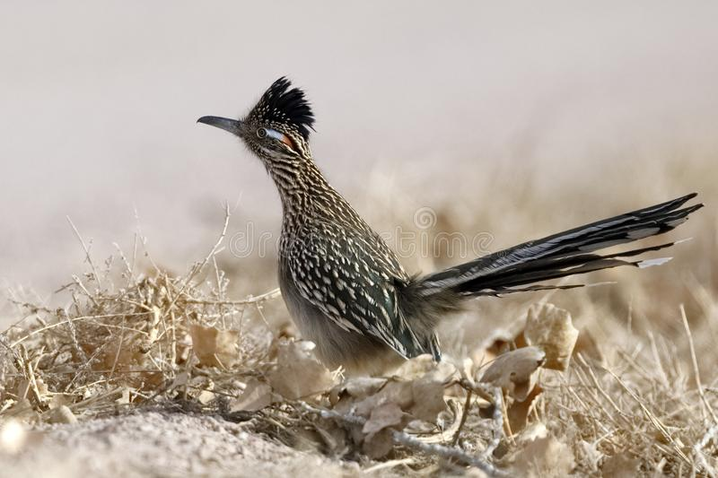 Greater Roadrunner - Bosque del Apache National Wildlife Refuge, New Mexico. Greater Roadrunner Geococcyx californianus - Bosque del Apache National Wildlife royalty free stock images