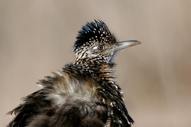 Greater Roadrunner, Geococcyx Californianus Stock Photography