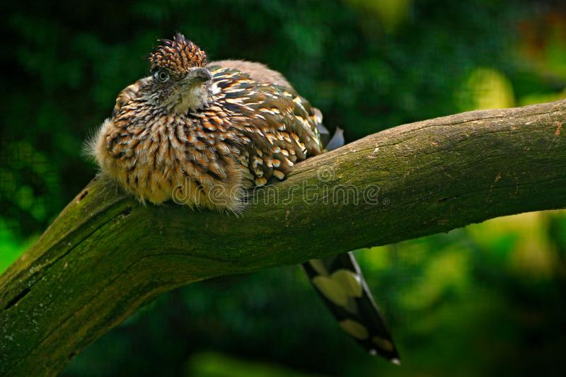 Greater roadrunner, Geococcyx californianus, bird sitting on the branch, Mexiko. Cuckoo in the nature habitat. Wildlife scene from royalty free stock photography