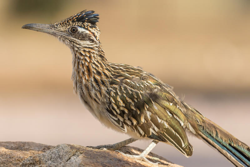Greater Roadrunner on Rock royalty free stock images