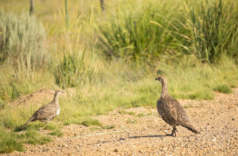 Greater Sage Grouse Hen With Chick stock photo