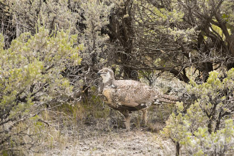 Greater Sage Grouse Hen Walking In Sagebrush royalty free stock images