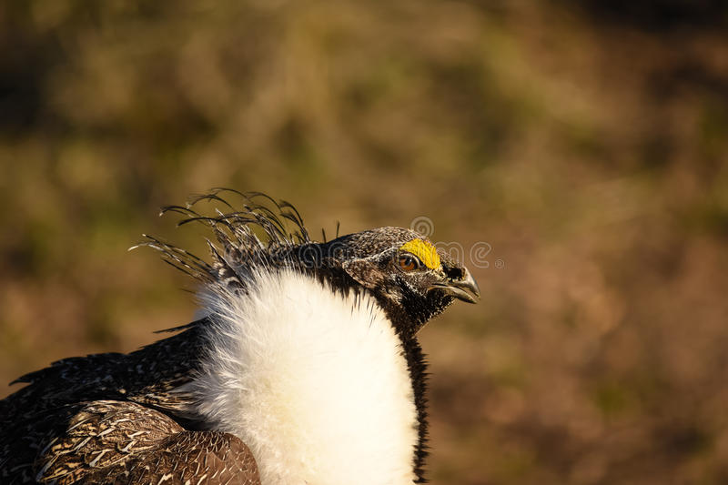 Greater Sage Grouse Male Closeup stock photo