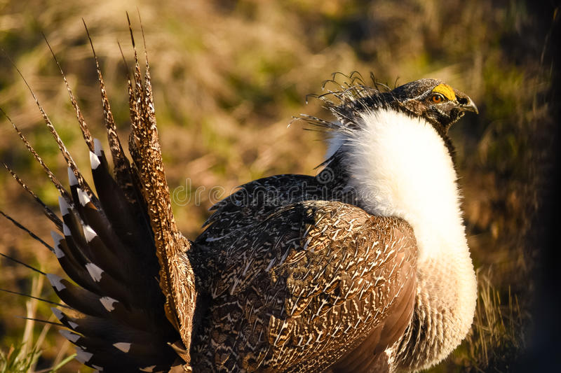 Greater Sage Grouse In Morning Light stock photos