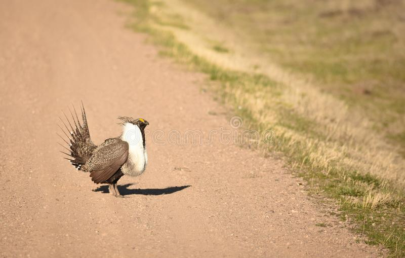 Greater Sage Grouse Strutting Across The Road stock photo