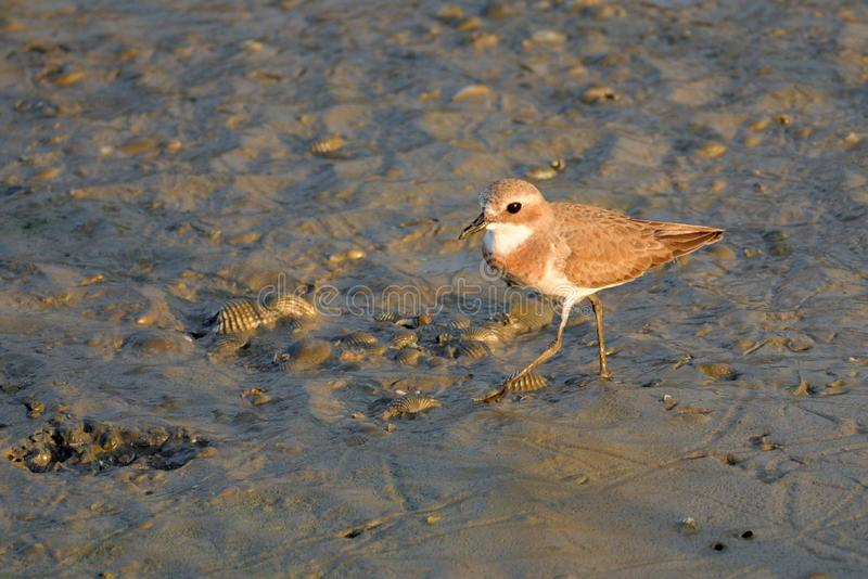 Greater Sand Plover stand in the evening sun. Greater Sand Plover stand alone at the wetland near the Gulf of Thailand in the evening sun royalty free stock photography