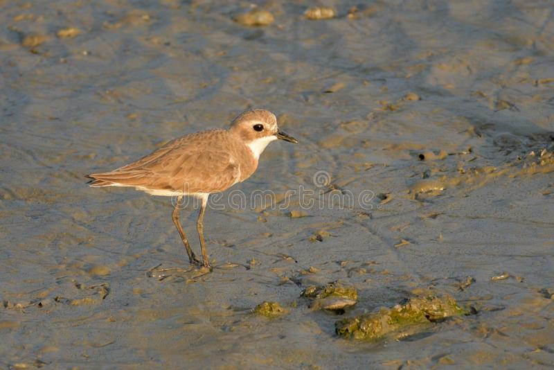 Greater Sand Plover stand in the evening sun. Greater Sand Plover stand alone at the wetland in the evening sun near the Gulf of Thailand royalty free stock photos