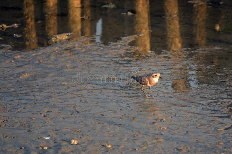 Greater Sand Plover stand in the evening sun. Greater Sand Plover stand alone at the wetland near the Gulf of Thailand in the evening sun stock photography