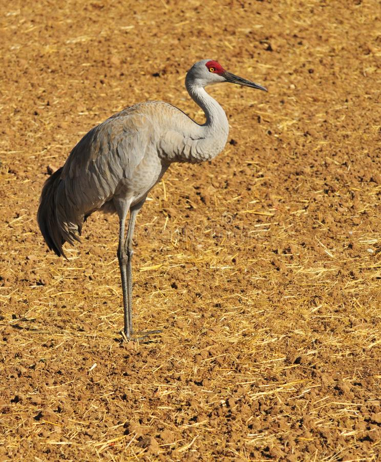 Download Greater Sandhill Crane stock photo. Image of center, bird - 8418250