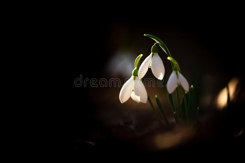Greater snowdrop royalty free stock photos