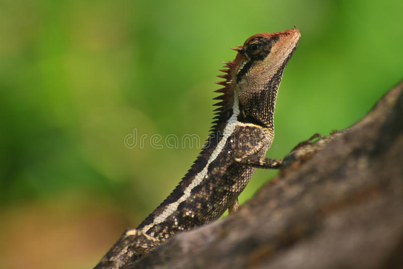 Greater spiny lizard. Acanthosaura armata, black faced lizard, masked spiny lizard, tree lizard stock photography